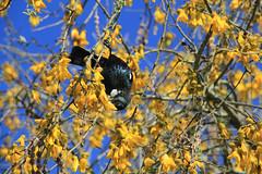 Searching for nectar (jpotto) Tags: newzealand aotearoa taupo tui bird hukafalls
