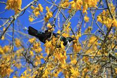 Where next? (jpotto) Tags: newzealand aotearoa taupo tui bird hukafalls