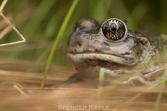 Western spadefoot (Spea hammondii) (Spencer Dybdahl Riffle) Tags: spea hammondii western spadefoot frog toad scaphiopodidae herp herping herpetology californiaherps anuran amphibian