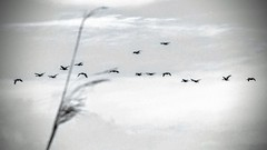 Follow the leader (romeos115) Tags: birds flying monochrome geese bw nature