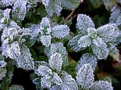 frozen mint (majka44) Tags: green plant mint garden nature frost frozen leaves macro macroworld winter cold snow 2019 light day texture decoration