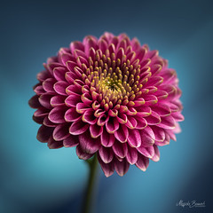 Pink flower (Magda Banach) Tags: nikond850 blue bluebackground colors delicacy delicate flora flower macro nature pink plants subtlety yellow