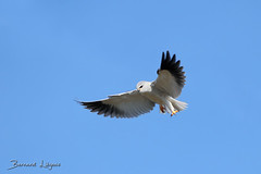 [In Explore] Elanus caeruleus | Elanion blanc | Black-shouldered Kite | Elanio Común | Gleitaar ([ ͆ ◎] Bernard LIÉGEOIS) Tags: france nouvelleaquitaine poitoucharentes poitou vienne vienne86 deuxsèvres deuxsèvres79 elanionblanc elanuscaeruleus blackshoulderedkite oiseau oiseaux bird birds birdwatching birding ornitho ornithologie ornithology envol inflight inexplore explore explored