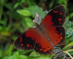Lasiophila orbifera (hippobosca) Tags: insect lepidoptera butterfly satyridae satyr lasiophilaorbifera ecuador macro