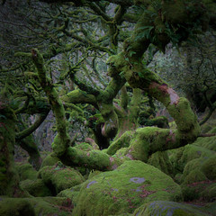 Wistman's Wood (Ree Smith) Tags: wistmanswood dartmoor devon oaktrees trees woodland ancientwoodland nature green mossytrees