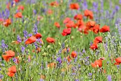 P1110820 (alainazer) Tags: simianelarotonde provence france fiori fleurs flowers fields champs colori colors couleurs coquelicot poppy papavero lavande lavanda lavender