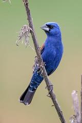 Blue Grosbeak (m) (Gf220warbler) Tags: missouri grosbeak passerina cardinalidae passerine songbird