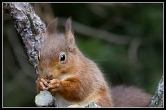 IMG_0055 Red Squirrel (Scotchjohnnie) Tags: redsquirrel sciurusvulgaris squirrel squirrelphotography rodent mammal wildlife wildlifephotography wildanimal wildandfree nature naturephotography canon canoneos canon7dmkii canonef100400f4556lisiiusm scotchjohnnie