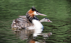 Great Crested Grebe (Podiceps cristatus australis) (TurboTony2) Tags: great crested grebe podiceps cristatus chick back herdsman lake
