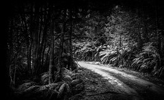 Dirt Road # 19 (Redux) (Graeme O'Rourke) Tags: lrcfa20873v6 bw blackandwhite outside national nature tree fern road landscape