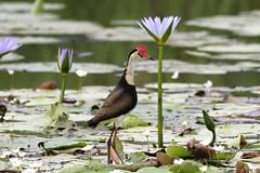 Comb-crested Jacana (Irediparra gallinacea) (johnedmond) Tags: brisbane sandy camp wetlands queensland bird nature wildlife eos7d ef100400mmf4556lisiiusm eos canon