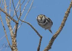 Chouette épervière - Northern Hawk owl (Charlaine Jean) Tags: wild bird nature animal gallery wildlife québec owl birdwatching birder birdinflight birdwatchers northernhawkowl