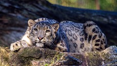 Schneeleopard (Fritz Zachow) Tags: schneeleopard raubkatze raubtier wildparklüneburgerheide niedersachsen deutschland groskatze katze