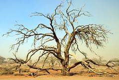 Just A Tree (Alan1954) Tags: tree petrified namib desert sossusvlei namibia holiday 2018