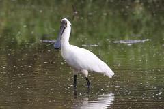 Royal Spoonbill (Platalea regia) (johnedmond) Tags: brisbane sandy camp wetlands queensland bird nature wildlife eos7d ef100400mmf4556lisiiusm eos canon