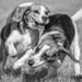 Beagle race