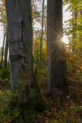 Unser Wald  (21) (berndtolksdorf1) Tags: deutschland thüringen wald bäume jahreszeit herbst autumn buchen