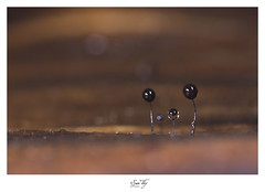 In the wood (the world of collembola) Tags: miniature macro canon eos 6d mpe funghi myxomycètes comatricha nigra