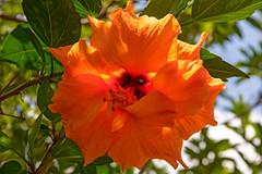 Orange Hibiscus. #5/100 (womboyne7) Tags: 100xflowers2020 hibiscus flower plant queensland australia orange sun leaf green