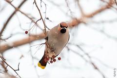 Bohemian Waxwing... (N.Batkhurel) Tags: season winter snow birds animals bohemianwaxwing mongolia fruits ngc nikondf nikkor 70200mm eyes