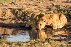 thirsty (renatecamin) Tags: kenia löwe kenya lion cat afrika wildlife africa