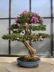 Bougainvillea (Piedmont Fossil) Tags: washington dc national arboretum bonsai tree miniature flower