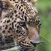 Portrait of the male leopard