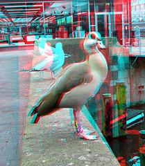 Nijlgans Hoogstraat Rotterdam 3D (wim hoppenbrouwers) Tags: nijlgans hoogstraat rotterdam 3d anaglyph stereo redcyan