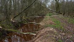Geen doorgang, dammenbouw gestart (nikjanssen) Tags: bevers beavers trees bomen lossing natuurgebiedgrootbroek nature fallen