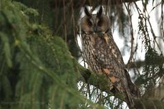 Waldohreule (Asio otus) (hotte54) Tags: waldohreule strigiformes wildlife ngc naturepicturede strigidae juergen bird animal canon 1dx owls