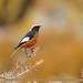 White-winged Redstart (Phoenicurus erythrogastrus)