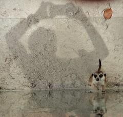 the shadow, the leaf & the meerkat (SM Tham) Tags: asia southeastasia malaysia perak ipoh tambun thelostworldoftambun pettingzoo animal enclosure meerkat reflection shadow leaf sand glass