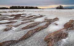 Hibernating reeds (Kimmo Järvinen) Tags: landscape nature lake sunset luonto maisema suomi finland nikon d500 tokina tokina1116mm snow ice kiteenjärvi winter tokina1116mmf28 atx116prodx
