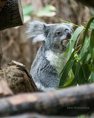 Koala im Zoo Duisburg II (Frau Koriander) Tags: australia prayforaustralia zoo zooduisburg koala koalabär koalabärchen animal duisburg nordrheinwestfalen germany deutschland zoohaltung nikond300s koalabear fluffy zootier fauna vivitar135mmf28