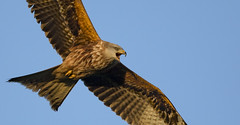 Hark! The Red Kite Sings! (Ann and Chris) Tags: red redkite raptor fabulous beautiful spectacular singing calling close majestic shifted flying wings