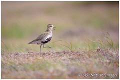 Take a Walk on the Wildside ! (www.andystuthridgenatureimages.co.uk) Tags: plover golden male walking striding moving moorland moor upland wader peakdistrict nationalpark bird canon