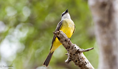 Trauertyrann / Tropical Kingbird (Fotännie) Tags: 2019 animalplanet bird colombia colombia2019 karibik kolumbien kolumbien2019 palomino schreivögel sommer2019 trauertyrann tropicalkingbird tyrannen tyrannusmelancholicus vogel