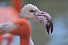 Flamingo (Zara Calista) Tags: bird nature bokeh flamingo aquatic nikon closeup face head pink orange light