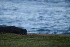 D85_0050 (mwelsch70) Tags: d850 nikon nikkor hawaii kauai ocean seal animal monkseal beach nater water