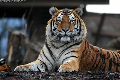 Siberian tiger - Pairi Daiza (Mandenno photography) Tags: animal animals dierenpark dierentuin dieren zoo bigcat big cat cats tiger tigers siberian siberische siberiantiger discovery nature natgeo natgeographic bbcearth bbc belgie belgium