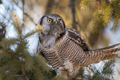 Chouette épervière à la chasse / Hunting Hawk Owl (anniebevilacqua) Tags: chouetteépervière northernhawkowl surniaulula prey proie hunting chasse stliguori