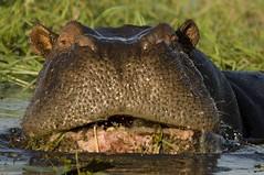 Kiss me Honey, honey... Kiss me... (lyn.f) Tags: hippo hippopotamusamphibius mammalswild herbivore water waterislife waterhorse choberiver botswana botswanamagic africa safari wildlife nature naturelover pangolinphotosafaris