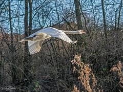 🇬🇧 Mr Swan look where you are going instead of looking at me SVP 4732 (vickyoutenphoto) Tags: vickyouten swan muteswan wildlife nature nikon nikond7200 nikkor55300mm sankeyvalleypark warrington uk