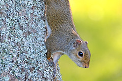 Curious Squirrel (NaturalLight) Tags: squirrel acrobat petitjean statepark arkansas