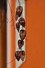 Orange Milieu (nagyistvan8) Tags: nagyistván túrkeve magyarország magyar hungary nagyistvan8 háttérkép background természet nature színek colors narancs orange barna brown fehér white fekete black növény plant ngc bugáscsörgőfa koelreuteriapaniculata goldenraintree aranyesőfa felület homlokzat facade surface tél winter környezet milieu 2020 nikon