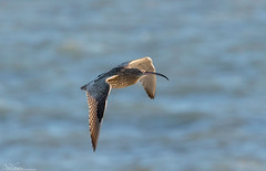 Curlew on the wing (Steve (Hooky) Waddingham) Tags: animal countryside coast canon bird british nature northumberland wild wildlife wader flight curlew