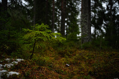 Descendant (Rico the noob) Tags: dof trees z7 landscape tree travel finland bokeh published 35mmf24 outdoor forest 35mm nature 2019