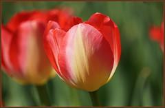 💖💖💖💖 Sag es durch die Blume 💖💖💖💖 (Kindergartenkinder 2018) Tags: blume ilce6000 sony kindergartenkinder tulpe gruga essen nrw