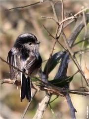 Mésange à longue queue (boblecram) Tags: aegithalos caudatus mesange longue queue oiseau bird aegithalidés ornithologie vogel lavernose occitanie