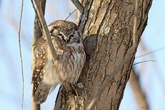 Nyctale de Tengmalm / Boreal Owl (alainmaire71) Tags: oiseau bird strigidae aegoliusfunereus nyctaledetengmalm borealowl nature quebec canada